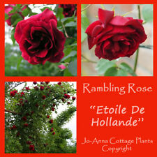 ETOILLE DE HOLLANDE CLIMBING ROSE VERY FRAGRANT BARE ROOT  ** ANY 4 FOR 3 **