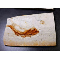 150 Million Years Ago Genuine Bony Fosslien Lycoptera Real Fossil Fish China