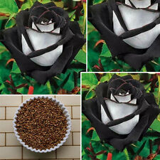 200Pcs White + Black Rose Flower Plant Seeds Garden Rare Seeds
