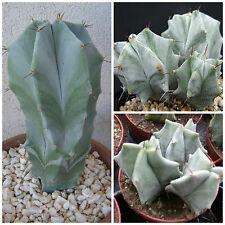50 semi di Lemaireocereus pruinosus ,piante grasse,seeds cactus