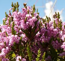 400 Samen Besenheide Calluna/Erica vulgaris, Heidekraut, Erika, Blüte bis Herbst