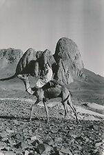 ALGÉRIE c. 1950 - Homme à Dos de Chameau Massif du Hoggar - Div 11366