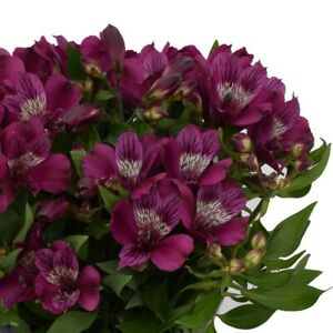 "Alstroemeria Inca""Noble"",1L Pot,Fully Est. Sun/Shade,Flowering Size,Compact"