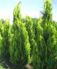 Scheinzypresse Ivonne 160-180 cm inkl. Versand 10 x Pflanzen 255,- €.
