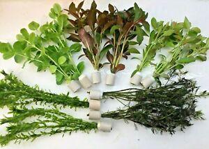 Teichpflanzen Set 10 Bund (2,10€/Stk.), Wasserpflanzen, Sumpfpflanzen,