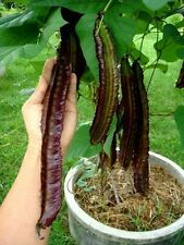 10 Seeds Winged Bean Seeds,Princess Bean from thailand+Free Delivery