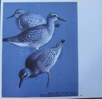 Bella Vintage Tunnicliffe Uccello Stampa ~ Nodo Alimentare Presso Cob Lago
