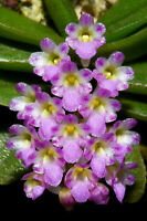 SCHOENORCHIS PHITAMII MINIATURE ORCHID MOUNTED