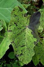 Colocasia esculenta - 'Mojito'  -  Elephant Ear