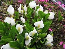 Lysichiton camtschatcensis, Scheincalla Teichpflanzen Teichpflanze Sumpfpflanze