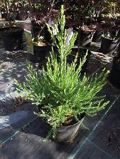 Sequoiadendron giganteum, grüner Mammutbaum 50-60cm, Bergmammutbaum