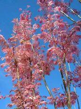 CHINESE MAHOGANY - Pink tree! Rare! Ideal bonsai or outdoor tree! Fresh seeds