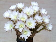 Echinopsis ancistrophora cactus plant flowering succulent cacti seed 15 seeds