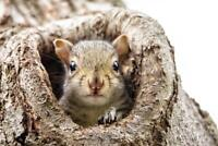 Baby Squirrel Looking Out From Knothole Photo Art Print Poster 24x36 inch