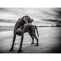 Weimaraner Dog Beach BW Large Canvas Wall Art Print