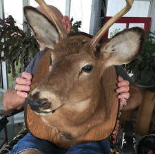 Vintage Four Point Buck Whitetail Deer Taxidermy Mount