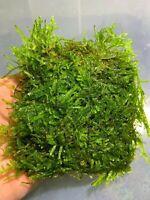 Christmas Moss Vesicularia Montagnei BIG Mat Live Aquarium Plant Willow Moss ✅