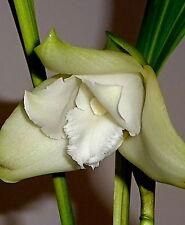 lycaste Liberty SNOW Pearl NUEVO Fragancia Orquídea Orquídeas