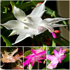 4 Christmas Cactus Starter Plants Schlumbergera: mixed colors