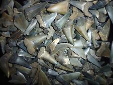 15 Fossilien Haizähne aus Belgien Megalodon Großvater era Haifischzähne haizahn
