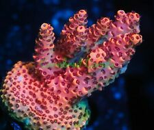 New listing Cornbred's Terminator Acro - New Release - Frag - Live Coral