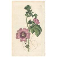 Curtis Botanical Magazine antique 1821 hand-colored engraving Pl 2226 Lavatera