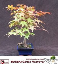 Bonsai Acer palmatum Atropurpureum-rotblättriger japonais matières d'érable -0027