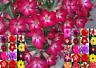 Rosa del Desierto - ADENIUM OBESUM- varios colores -  10 Semillas