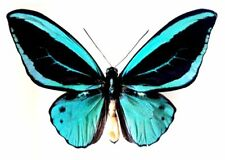 Ornithoptera PRIAMUS POSEIDON  MALE FORM DIVINA....Indonesia....VERY RARE!!