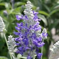SALVIA FLOWER GARDEN SEEDS - STRATA VARIETY -1000 SEEDS - AAS - WHITE & BLUE