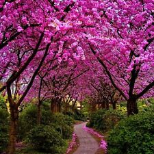 100 Seeds Judas tree / Cercis siliquastrum -  Home Garden Tree Seeds