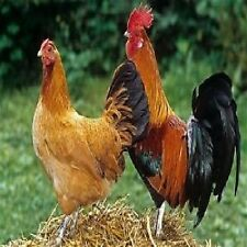 D121  GET FREE EGGS BY KEEPING PET CHICKENS AND POULTRY, INSTRUCTIONAL DVD