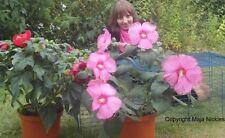 Für Blumenstrauss : Riesen-Hibiscus /  Blüten in vielen Farben & Düften / Samen