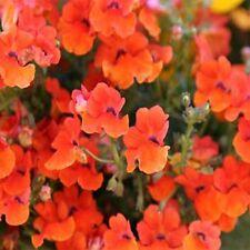 Nemesia- Orange Prince - 100 Seeds - 50 % off sale