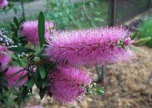 PURPLE SPLENDOUR BOTTLEBRUSH SEEDS CALLISTEMON NATIVE SHRUB FLOWER 600 SEEDS