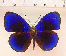 Asterope (callithea) Sapphira machos ex santarèm, brasil n621