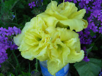 CABBAGE FLOWER - Daylily 10 Plants Fragrant Reblooming Perennial Flower