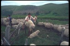 095065 Simon Jones And Family Sorting Sheep A4 Photo Print