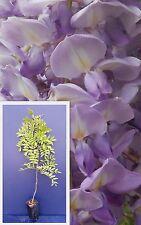 WISTERIA SINENSIS vq Glicine pianta Chinese Wisteria plant
