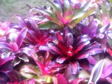 BROMELIAD NEOREGELIAS - SPECIAL OFFER    X 10   (ALL TAGGED-NEW BROMS)