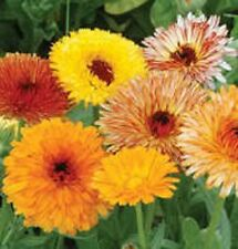 500 FANCY MIX MARIGOLD Calendula Officinalis Flower Seeds + Gift & Comb S/H