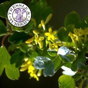 Rare Golden Currant Ribes Aureum 6 seeds UK SELLER