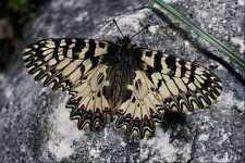 432062 Southern Festoon Zerynthia Polyxena A4 Photo Print