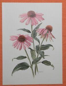 Purpur-Sonnenhut Echinacea purpur  Offset-Lithographie Anne Marie Trechslin 1970