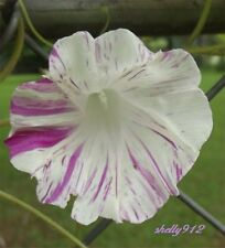 Strawberry Swirl - Flaked Shibori - Morning Glory Seeds - ipomoea   ஐƸ̵̡Ӝ̵̨̄Ʒஐ