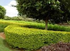 6 x Duranta Sheena's Gold dense fast hedging border plants in 40mm pots