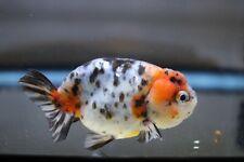 New listing Live Calico Ranchu Fancy Goldfish #8 + Video In Description