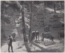 D1876 Pragelato - Gli alti pascoli nelle Pinete - Stampa d'epoca - 1936 print