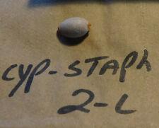 1 - CYPRAEA STAPHYLAEA  F++  collector display shells ITEM # 2-L
