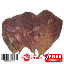 50 Pieces Fish Shrimp Tropical Indian Almond Discus Clean / Dried Almond Leaves
